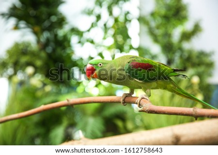 Beautiful Alexandrine Parakeet on tree branch outdoors #1612758643