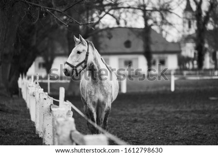 Black and white picture of white horse of Kladrubsky breed or race staying by the fence of pasture land and watching during the winter day. Picture is taken in horse farm Kladruby in Czech Republic.