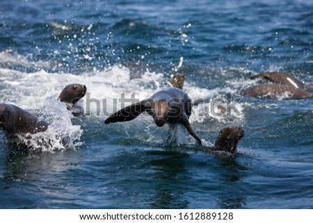 SOUTH AMERICAN SEA LION OR SOUTHERN SEA LION otaria byronia, FEMALES PLAYING IN WATER, PARACAS NATIONAL PARK IN PERU   #1612889128