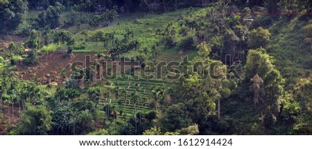 Excellent manicured Ceylon tea (orange pekoe at Camellia sinensis) plantations in wintertime. Plantation is surrounded by remnants of rain forest and palm groves. Sri lanka #1612914424