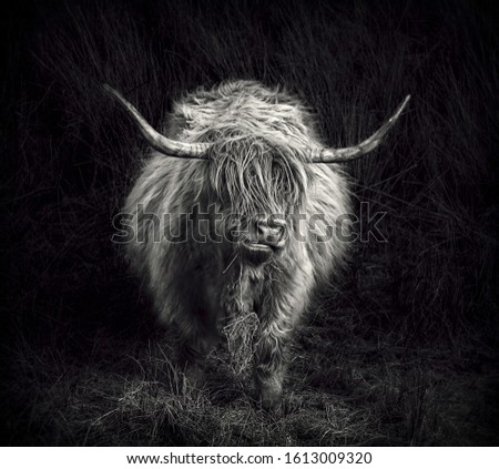 A black and white toned highland cow chewing grass in the Scottish Highlands while heavily pregnant. #1613009320