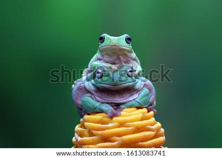 Australian white tree frog on yellow bud, dumpy frog on branch, animal closeup, amphibian closeup #1613083741