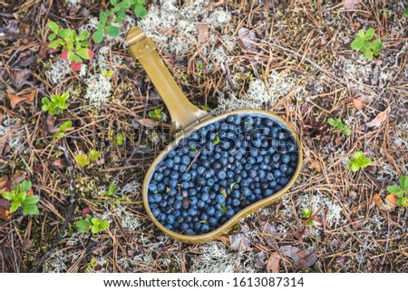 Fresh blueberries hand picked on swamp in an army bowler hat #1613087314