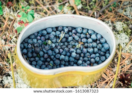 Fresh blueberries hand picked on swamp in an army bowler hat #1613087323