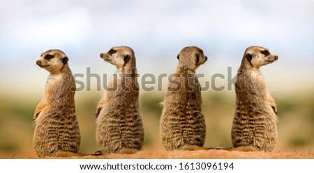 MEERKAT suricata suricatta, ADULTS LOOKING AROUND, SITTING ON SAND, NAMIBIA