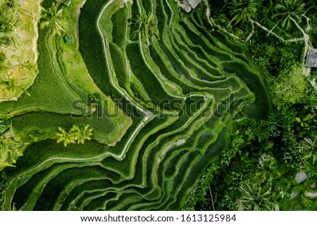 Drone view of rice plantation in bali with path to walk around and palms.Rice terraces photos from the height, bali, indonesia, ubud, the geometry of the rice field #1613125984