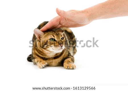 BROWN MARBLED TABBY BENGAL DOMESTIC CATN SCARED   #1613129566