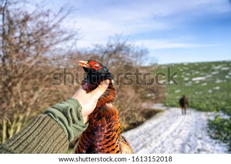 Dead pheasant in a hand after successful hunt.  #1613152018