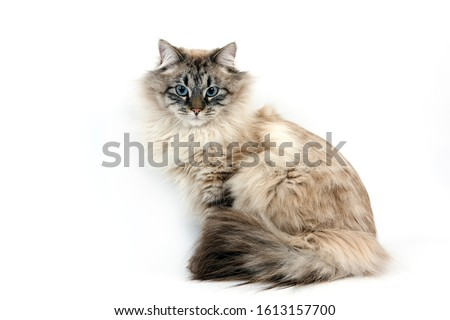 NEVA MASQUERADE SIBERIAN CAT, COLOR SEAL TABBY POINT, MALE AGAINST WHITE BACKGROUND   Royalty-Free Stock Photo #1613157700
