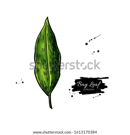 Bay leaf vector hand drawn illustration. Isolated spice object. Seasoning laurel leaves. Detailed organic product sketch. Cooking flavor ingredient. Great for label, sign, icon Royalty-Free Stock Photo #1613170384