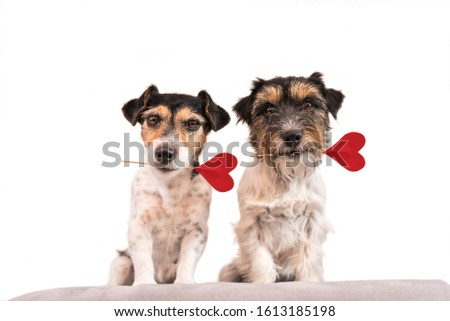 Romantic Dog - Two little cute Jack Russell Terrier dogs with a heart as a gift for Valentine in the mouth.. Picture isolated on white.