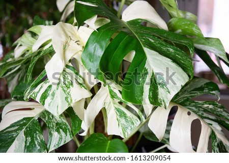 Monstera deliciosa variegata - tropical houseplant Royalty-Free Stock Photo #1613209054