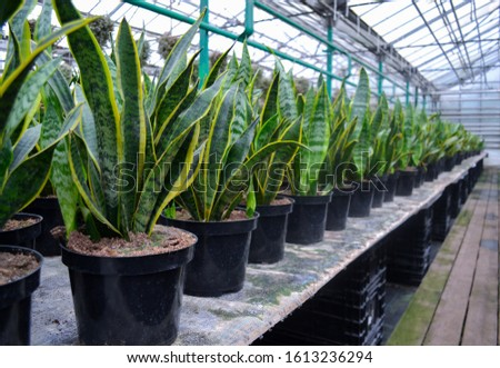 Sansevieria evergreens, known as snakeskin or pike's tail, with striped long leaves, stand in rows in flower pots. Sale in a flower shop, in a greenhouse #1613236294