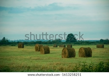 Straw in bales. Hay hay in the field.  #1613258251