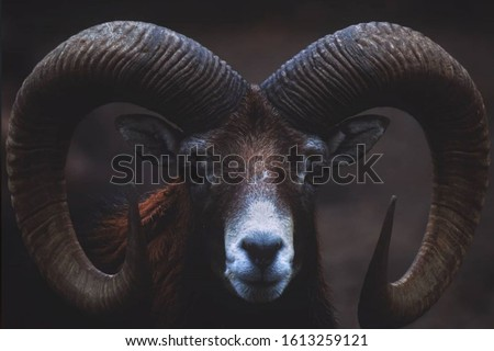 The Scary Sheep Wildlife  photography