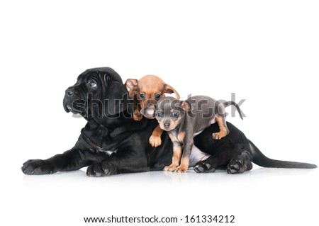 cane corso puppy with two russian toy puppies #161334212