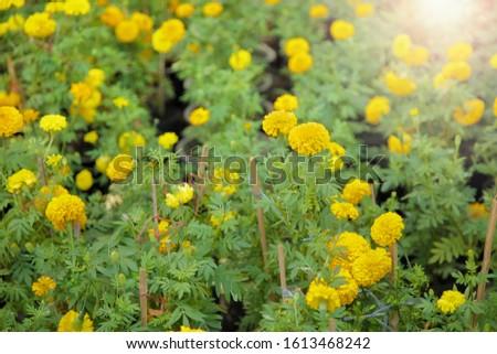 Calendula officinalis in the garden, Calendula officinalis farming, Calendula officinalis is called common marigold, pot marigold and calendula.