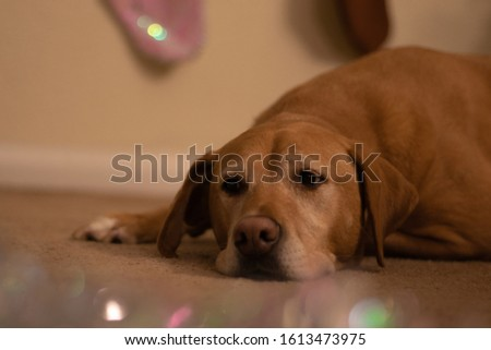 A golden Labrador Retriever laying on the floor with sparkly tinsel blurred in the foreground and stockings hung in the background. #1613473975