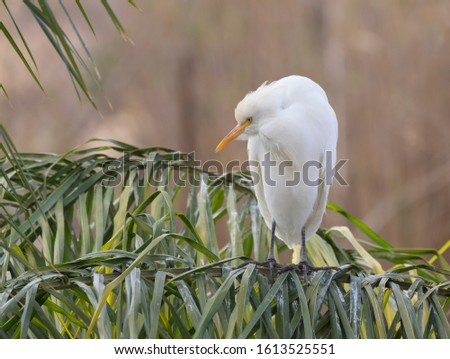 The cattle egret  (Bubulcus ibis) perched on the palm tree in a hunched posture #1613525551