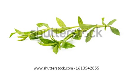tarragon herbs isolated on white background. fresh tarragon herbs isolated on white background. Tarragon herbs close up isolated on white background #1613542855
