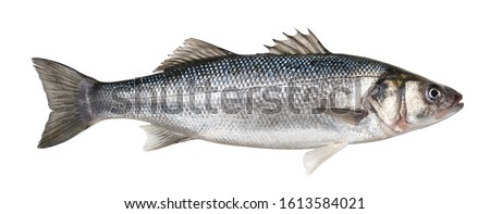 Raw seabass. One fresh sea bass fish isolated on white background with clipping path Royalty-Free Stock Photo #1613584021