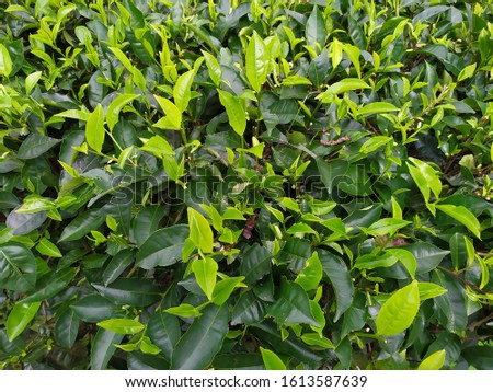 tea leaves in the mountains #1613587639