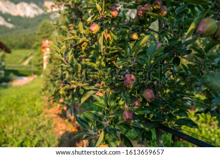 Picture of a ripe apples in orchard ready for harvesting. Morning shot. Shiny delicious apples hanging from a tree branch in an apple orchard.