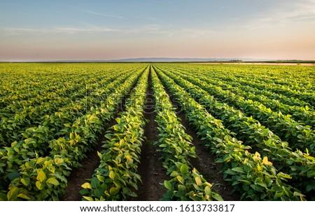 Open soybean field at sunset.Soybean field . #1613733817