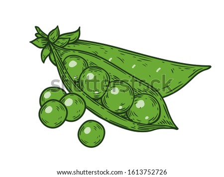 Green Peas. Hand drawn colorful pea illustration. Organic fresh farm food engraving peas isolated on white background. Hand drawn peas in sketch etch style Royalty-Free Stock Photo #1613752726