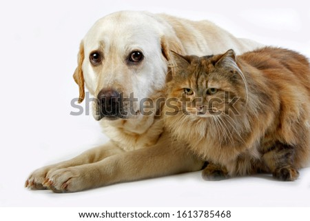 YELLOW RETRIEVER LABRADOR FEMALE WITH TORTOISESHELL PERSIAN DOMESTIC CAT   #1613785468