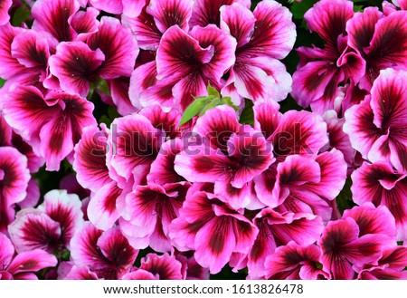 Velvet purple geraniums as a background.Royal Pelargonium or Candy Flowers Bicolour Regal Geranium close up.Home gardening concept.Selective focus. #1613826478