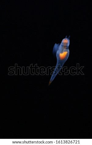 Naked Sea Butterfly or Sea Angel called Naked Sea Butterfly or Sea Angel ( Common Clione)  #1613826721
