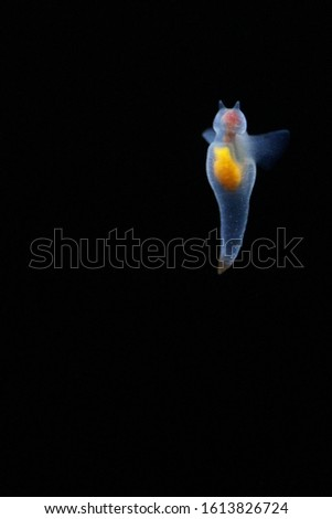 Naked Sea Butterfly or Sea Angel called Naked Sea Butterfly or Sea Angel ( Common Clione)  #1613826724