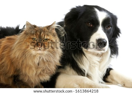 Border Collie Male with Tortoiseshell Persian Female, Dog and Cat laying against White Background   #1613864218