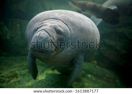 Caribbean Manatee or West-Indian Manatee or Sea Cow, trichechus manatus, Adult