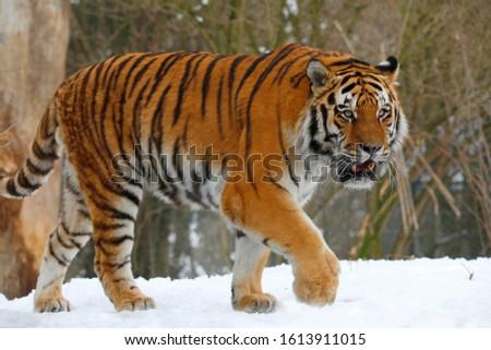 Siberian tiger (Panthera tigris tigris) Amurtiger, Ussuritiger #1613911015