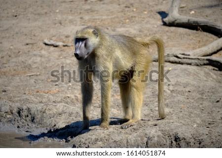 Baboon in Mana Pools National Park, Zimbabwe  #1614051874