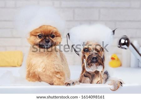 Pomeranian and yorkshire terrier having foam bath Royalty-Free Stock Photo #1614098161