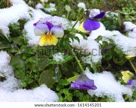 spring flower under snow close-up, spring landscape