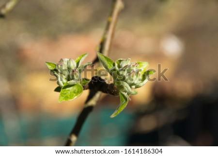 Spring buds or buds before flowering in apple tree  #1614186304