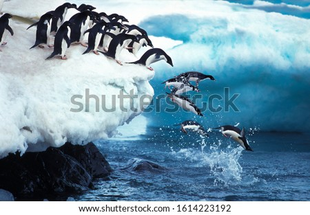 Adelie Penguin, pygoscelis adeliae, Group Leaping into Ocean, Paulet Island in Antarctica     #1614223192