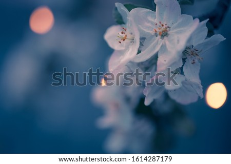 Beautiful spring blossoms. The white flowers on the branches of apple tree at dusk time at the garden, with shallow depth of field and bokeh lights. #1614287179