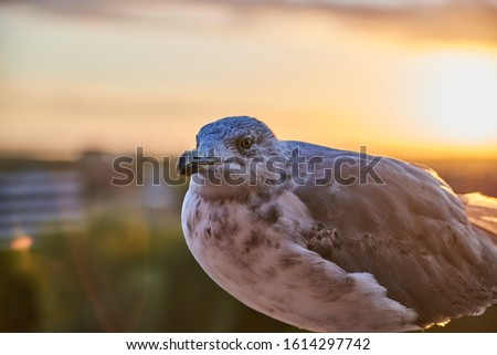 A seagull was staring at the camera. Seagull, Seagull portrait. Close up view of white bird seagull Royalty-Free Stock Photo #1614297742