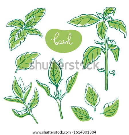 Basil sprigs and leaves/ Hand drawn culinary herbs and spices/ Basil parts colorful sketch collection/ Vector illustration #1614301384