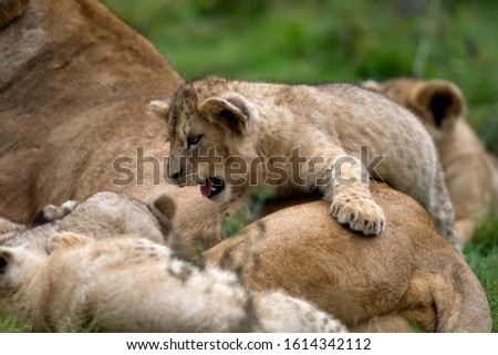 Katanga Lion or Southwest African Lion, panthera leo bleyenberghi, Female and Cub Playing  #1614342112