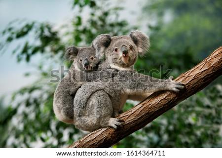 Koala, phascolarctos cinereus, Female carrying Young on its Back   Royalty-Free Stock Photo #1614364711