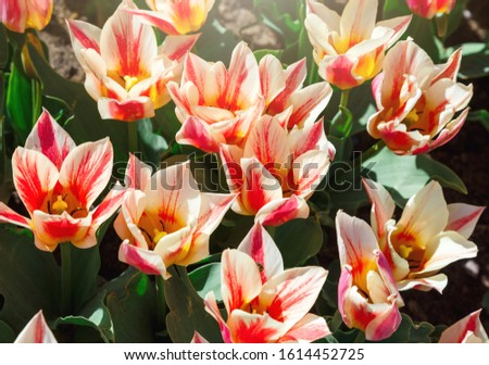 Field of pink tulips with selective focus. Spring, floral background. Garden with flowers. Natural blooming. #1614452725