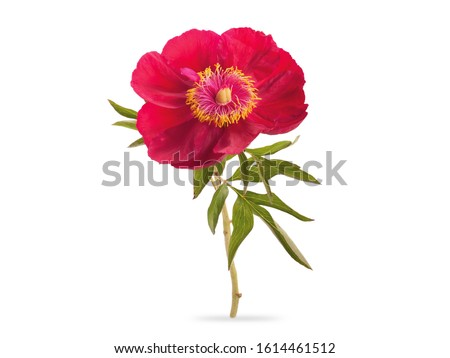 A Sprig Red Peony Flower With Green Leaves Isolated White Background #1614461512