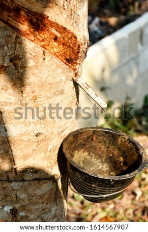Rubber trees, rubber tapping marks and plastic cups filled with raw rubber, tied to rubber trees #1614567907