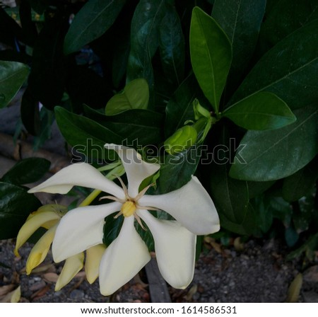 Gardenia jasminoides into a cluster of tufts at the top Each bouquet consists of 5-7 flowers, white flowers, white flowers and a tube base. The end of the petals are 5 petals, oval, the end of the pet #1614586531